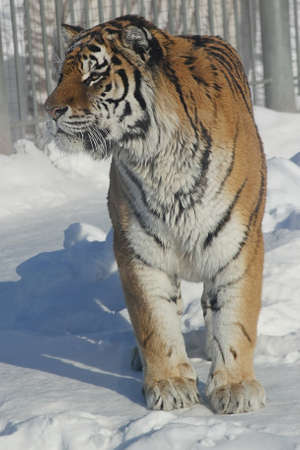 Bengal Tiger walking in the snow Stock Photo - 14605356