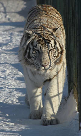 Siberian tiger stripes on the background of the lattice Stock Photo