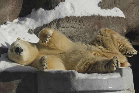 polar bears basking in the sun Stock Photo