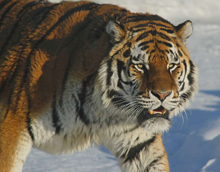 Bengal tiger s head on a background of snow photo