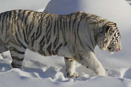 Siberian tiger walks in the snow photo