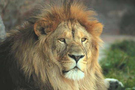 lion head on the floor face