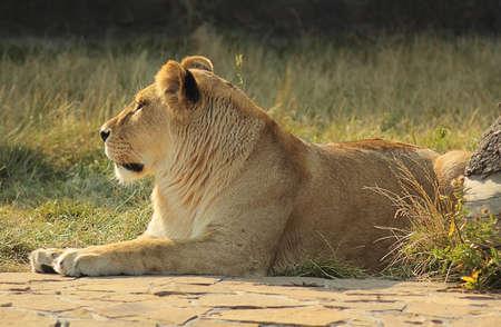 Descansando Lioness