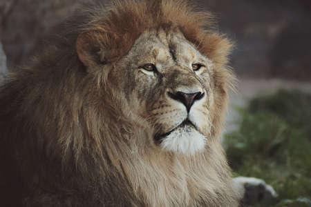 lion raised his head proudly Stock Photo