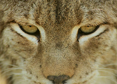 Lynx is looking to focus