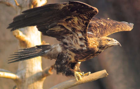 soaring steppe eagle on the dry branch photo