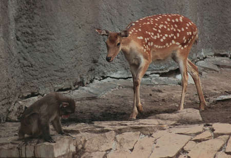 ungulates: Sika deer and Japanese macaque that study, there