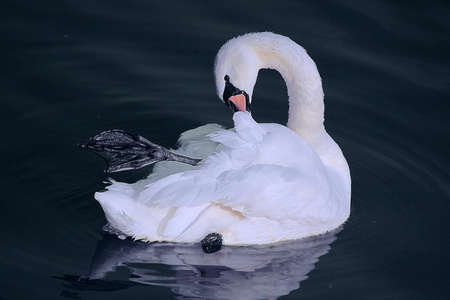 arched neck: white swan neck arched and cleans feathers Stock Photo