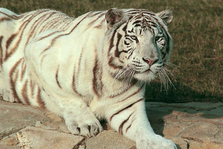 Siberian tiger alert photo