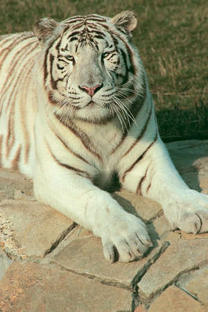 Siberian tiger lying photo