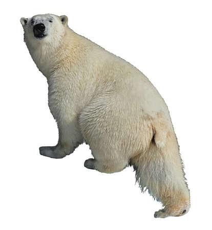 polar bear on a white background rises Stock Photo