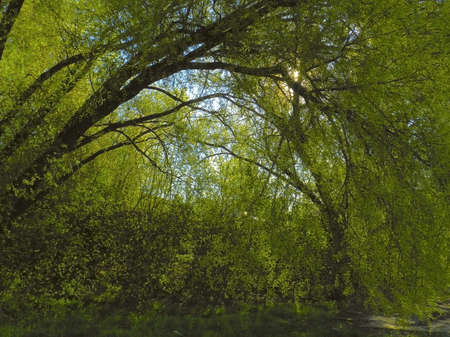 arch of the branches of an old willow tree with the young spring leaves Stock Photo