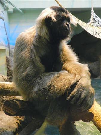 gibbon: gibbon sitting