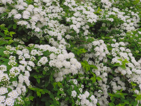 ornamental horticulture: flowers snowberry