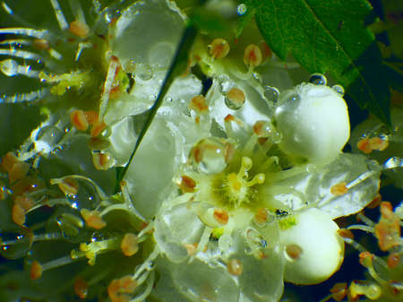 dew drops on the flowers of apple Stock Photo - 16887483