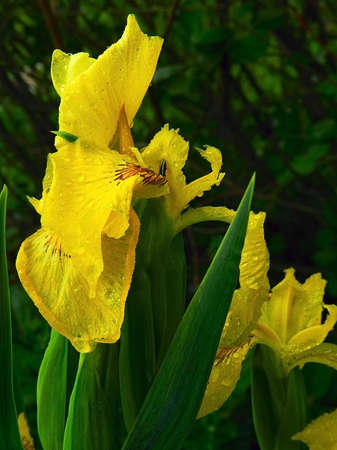 ornamental horticulture: iris flowers of marsh Stock Photo