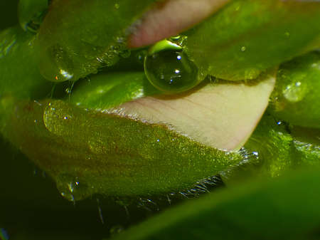 sepals: drops of water on the sepals peon
