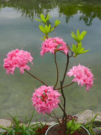 ornamental horticulture: pink rhododendron flowers on the background of the pond Stock Photo
