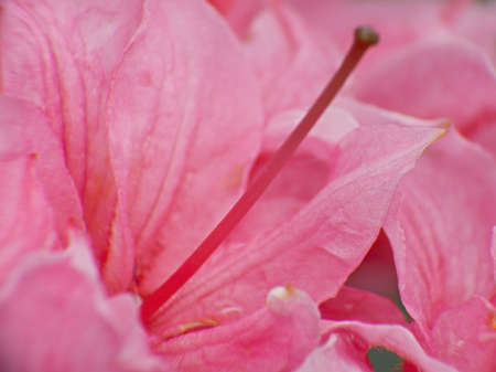 ornamental horticulture: pink rhododendron flowers macro