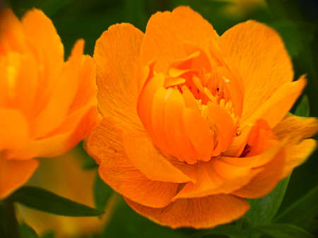 ornamental horticulture: double flowers marigold