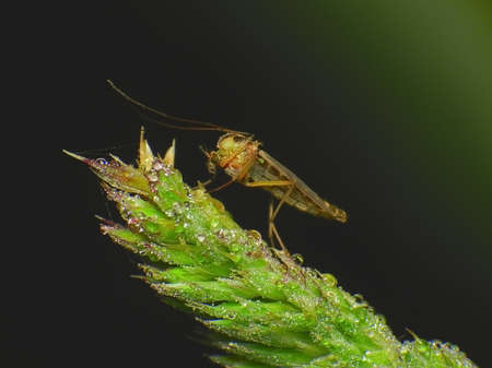 culicidae: small midge in the dew on the spikelet Stock Photo