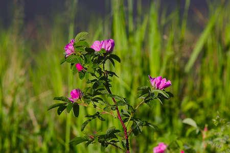 wild  rose: fiori selvatici della foresta selvaggia rosa erbe Archivio Fotografico