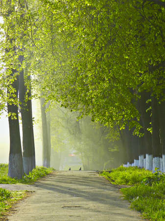 avenue of elms in the morning sun with pigeons