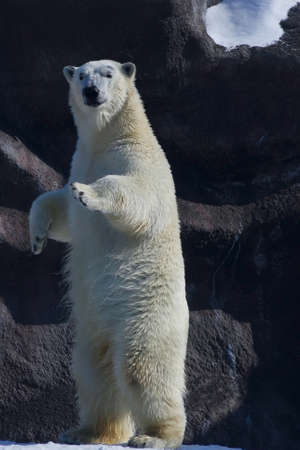 polar bear stands and looks Stock Photo