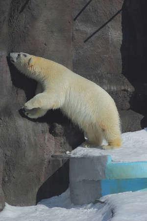 oso polar extendido y mirando de perfil Foto de archivo - 16976967