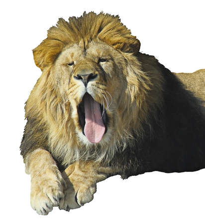 somnolence: lion yawning cave strongly