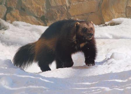 Wolverine running in the snow