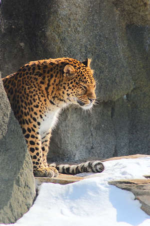 Leopard sitting in snow cave