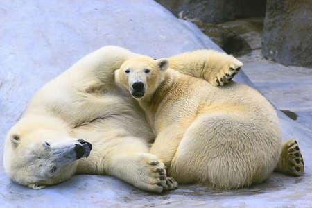 couple in love polar bears Stock Photo