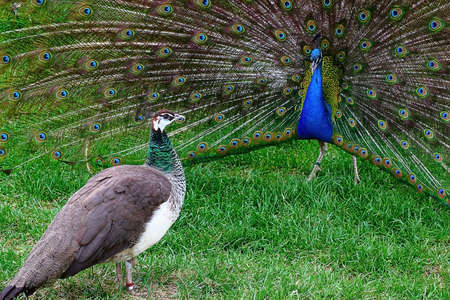 male and female peacock in the marriage game Stock Photo