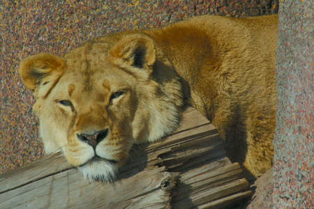 Lioness lying down resting on a log Stock Photo