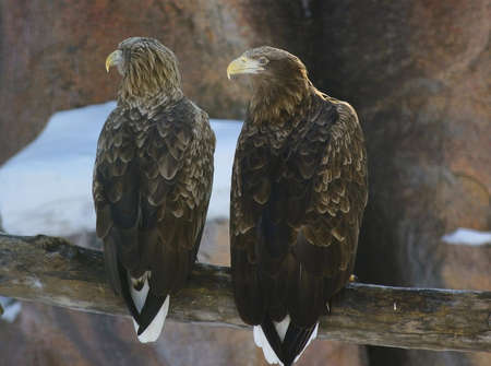 two eagles communicate with each other