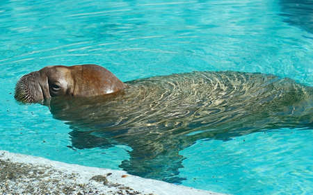 young walrus resting in the water near the shore