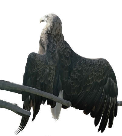 Steppe eagle sunning opened wings Stock Photo