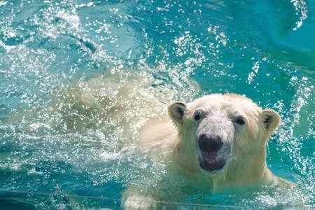 polar bear swimming in the blue water