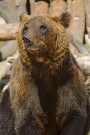 sitting brown bear close up