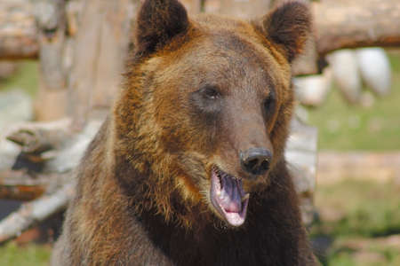 focinho urso marrom abriu a boca