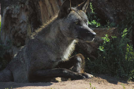 gray wolf out of the den