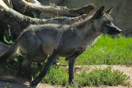 gray wolf: gray wolf runs out of the den Stock Photo