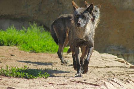 lobos cinzentos s