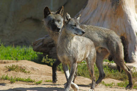 2 gray wolf watching in search of prey Stock Photo - 17029978