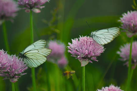 butterflies nectar: butterflies gather nectar from the flowers of ornamental onions Stock Photo