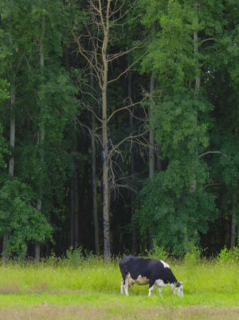 a lone cow grazing in a meadow in front of forest Stock Photo