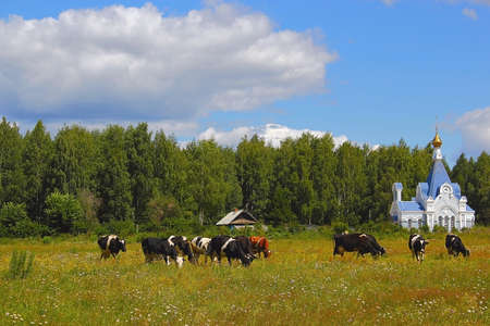 herd of cows in a field in front of a rural Orthodox chapel