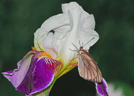 bearded iris: bearded iris flower with white butterfly