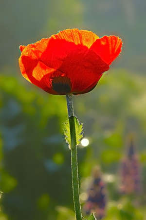 ornamental horticulture: oriental poppy flower Stock Photo